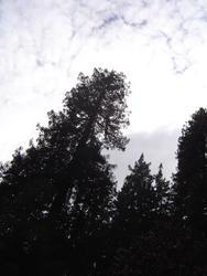 905-sequoia_forest_02043.JPG
