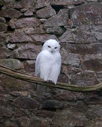 836-snowy owl