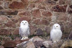 837-snowy owl