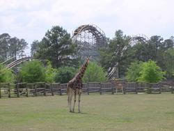 672-themepark_giraffeP320.jpg