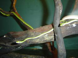 943-tree_snakes_02248.JPG