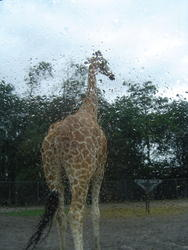 673-zoo_giraffe_tall_01135.jpg