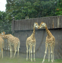 674-zoo_giraffe_tall_01136.jpg