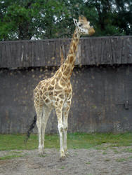 675-zoo_giraffe_tall_01139.jpg