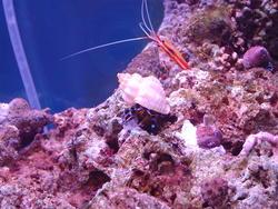 1302-Scarlet_cleaner_shrimp00685.JPG