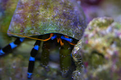 1266-blue_leggged_hermit_crab_IGP0832.JPG