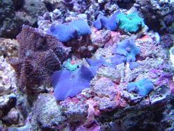 1308-blue_mushroom_anemones01201.JPG