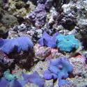1309-blue_mushroom_anemones01209.JPG