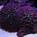 1310-brain_star_coral02484.JPG