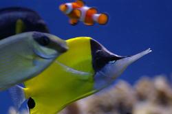 1311-butterfly_clownfish_IGP0989.JPG