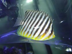 1312-butterflyfish01343.JPG