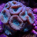 1269-candycane_coral02482.JPG