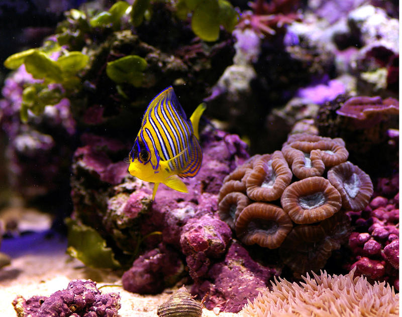 amazing natural beauty of a tropical coral reef and colourful angelfish