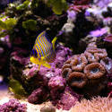 1358-coral reef angelfish
