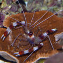 1273   coral shrimp