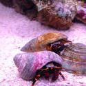 1329-hermit_crab_00975.JPG