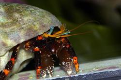 1330-hermit_crab_1322.JPG