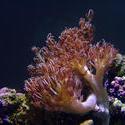 1331-heteroxenia_coral_polyps_01311.JPG