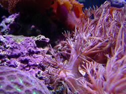 1333-heteroxenia_coral_polyps_02461.JPG