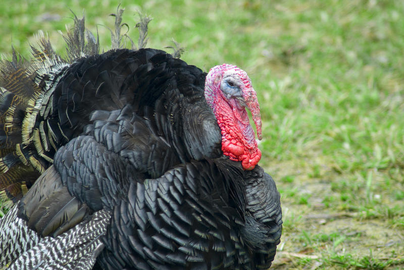 A broad breast bronze turkey