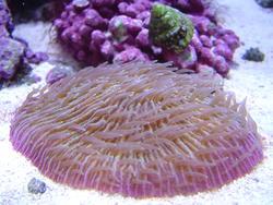1285-mushroom_coral_fungiidae02318.JPG