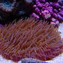 1336-mushroom_coral_fungiidae02483.JPG