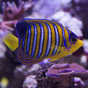 1340-royal_angel_fish_1415.jpg