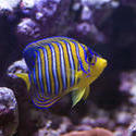 1341-royal_angel_fish_1417.jpg