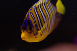 1288-royal_angel_fish_1447.jpg