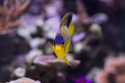 1289-royal_angel_fish_2167.jpg