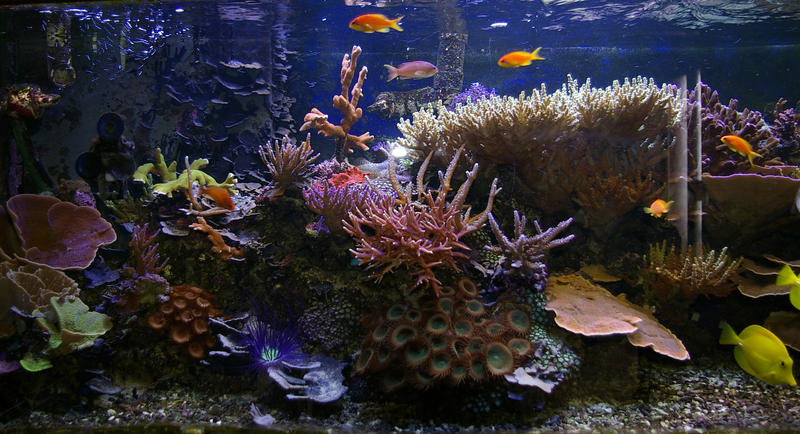 colourful fish and corals in a saltwater aquarium tank