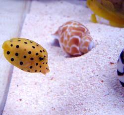 1356-yellow_boxfish00528.JPG