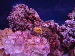 1300-yellow_boxfish00532.JPG