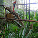 1726-Macaws in Belize Zoo