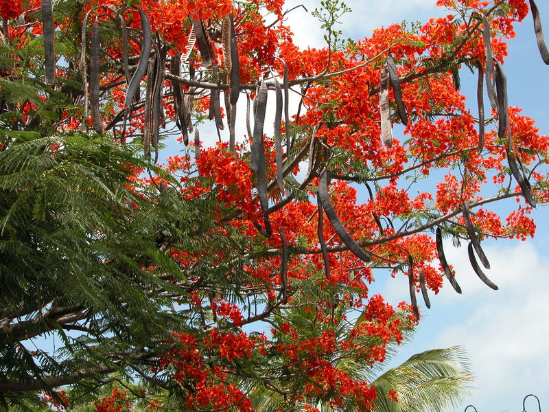 Flame tree with flowers and seed pods in the Caribbean island of Bonaire