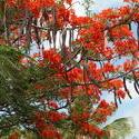 1945-Caribbean_Bonaire_flame_tree.jpg