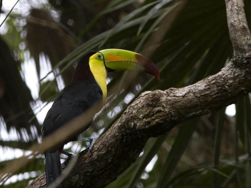 Toucan with its distinctive brightly coloured bill