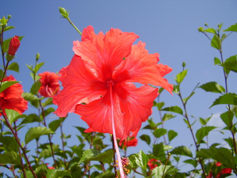 a bright red hibiscus in flower