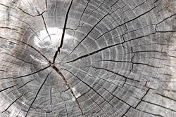 1879   Tree stump texture