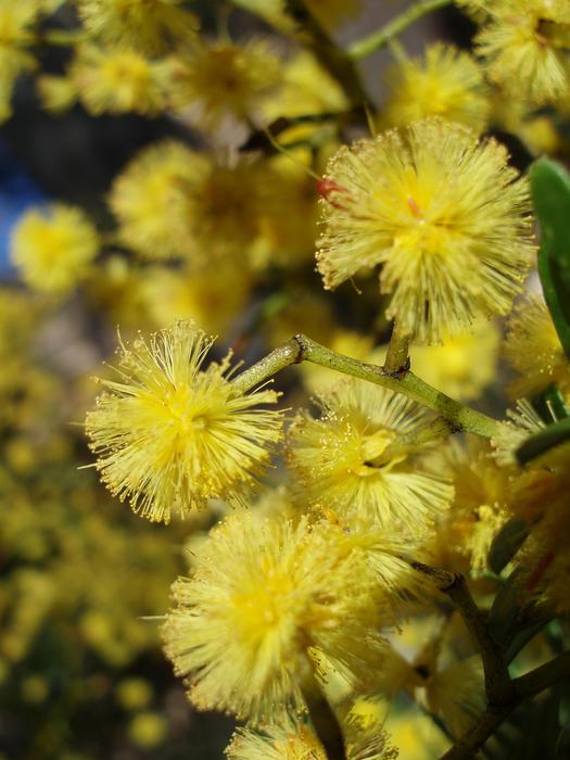1936-yellow wattle flowers