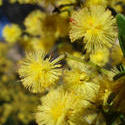 1936-yellow wattle flowers