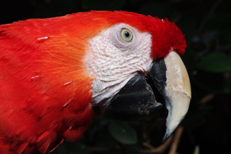 2187-scarlet macaw head