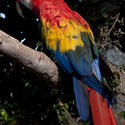 2188-Scarlet Macaw, Ara macao