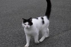 2849-black and white cat