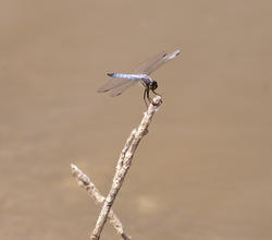 2805-blue dragon fly