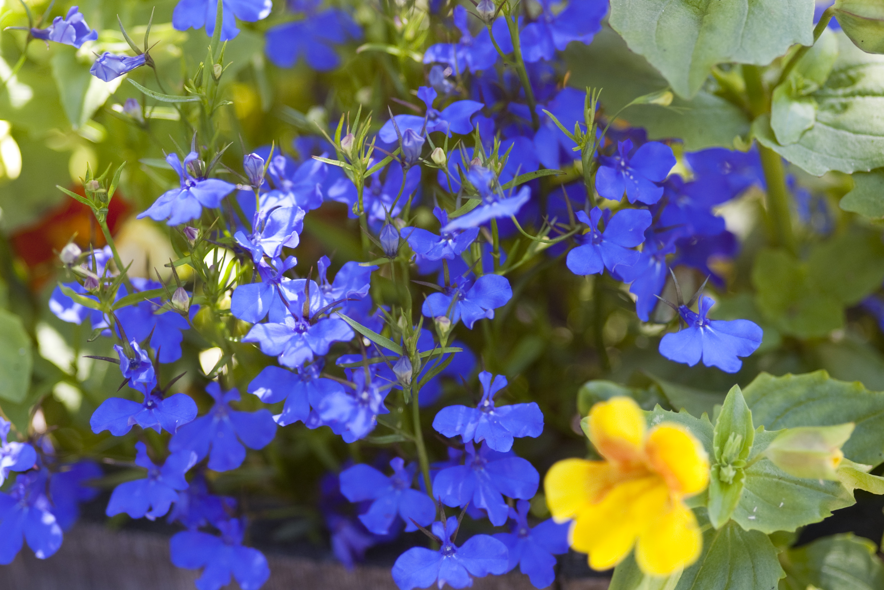cool colourful blue flowers in a cottage garden flower bed with flowers in a garden