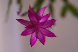 2839-christmas cactus