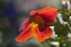2842-red country garden flower