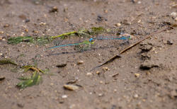 2808-blue green dragon fly