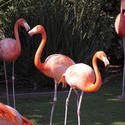 2195-pink flamingo